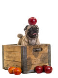 Cute Pug dog in apple crate Stock Photo