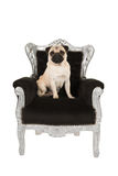 Cute pug dog on a baroque chair Royalty Free Stock Photo