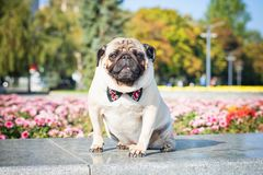 A cute pug dog in a black and red butterfly tie against a background of a summer city landscape.