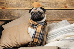 Cute pug dog in checkered scarf sitting on pillows Stock Image