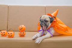Cute pug dog with costume of happy halloween day sleep rest on s Royalty Free Stock Photo