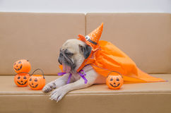 Cute pug dog with costume of happy halloween day sleep on sofa w Royalty Free Stock Photo