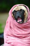 Cute pug dog at the dog spa. Royalty Free Stock Photography