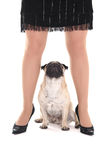 Cute pug dog and female legs Royalty Free Stock Photography