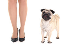 Cute pug dog and female legs Stock Photos