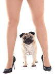Cute pug dog and female legs Stock Images