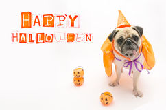 Cute Pug Dog with Halloween pumpkin looks surprised and tongue sticking out Royalty Free Stock Photos