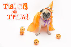 Cute Pug Dog with Halloween pumpkin looks surprised and tongue sticking out Stock Images