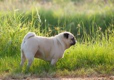 Cute pug dog Stock Photos