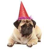 Cute Pug dog with hat on white background Royalty Free Stock Image