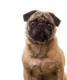 Cute Pug Dog Looking Royalty Free Stock Photos