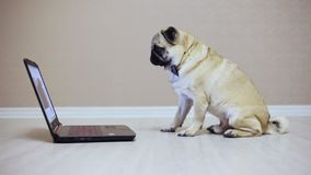 A cute pug dog looks at the screen of a laptop computer, dressed in a butterfly watching a movie, side view