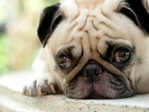 Cute pug dog Royalty Free Stock Photo
