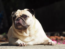 Cute pug dog. Lovely white fat cute pug dog face close up laying on  concrete garage floor outdoor making funny face under natural sunlight Stock Photography