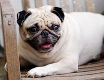Cute pug dog Stock Image