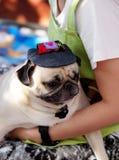 Cute pug dog Stock Image