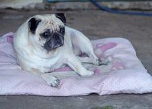 Cute pug dog Stock Images