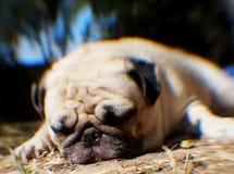 Cute pug dog Royalty Free Stock Photos