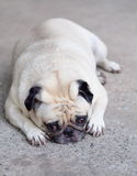 Cute pug dog Royalty Free Stock Photography