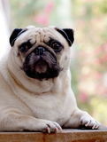 Cute pug dog Royalty Free Stock Image