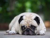 Cute pug dog. Lovely white fat pug dog portraits laying on concrete garage floor making funny happy alert face looking for friends to play Royalty Free Stock Photography