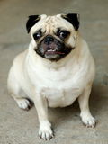Cute pug dog Royalty Free Stock Image