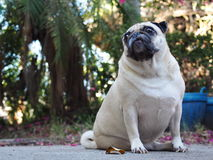 Cute pug dog Royalty Free Stock Images