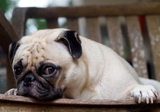 Cute pug dog Stock Images