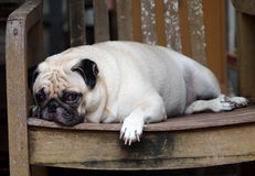 Cute pug dog Stock Photography