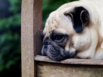 Cute pug dog Royalty Free Stock Photography