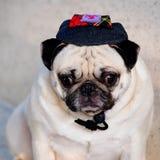 Cute pug dog Stock Photo