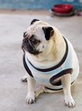 Cute pug dog Stock Photography