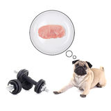 Cute pug dog lying with dumbbells and dreaming about food Royalty Free Stock Photo