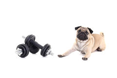Cute pug dog lying and dumbbellss over white Royalty Free Stock Photos
