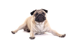 Cute pug dog lying over white Royalty Free Stock Image