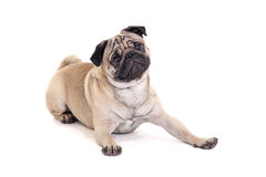 Cute pug dog lying over white Royalty Free Stock Photography