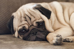 Cute pug dog lying resting on the floor. Keeping a watchful eye on the camera with its skin folded into adorable wrinkles Stock Images