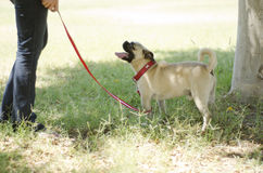 Cute pug dog and owner at a park Royalty Free Stock Image