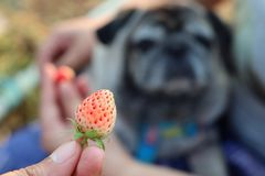 A cute pug dog, people are entering strawberries to eat in the blurred garden. A cute pug dog, people are entering strawberries to eat in the blurred garden stock photos