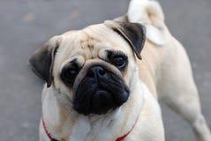 Cute pug dog. Portrait of cute pug dog on gray background Stock Photo