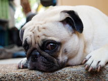 Cute pug dog Stock Photo