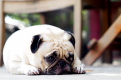 Cute pug dog. Profile side view portraits close up of a lovely lonely white pug dog laying on the floor making sadly face with home outdoor surrounding bokeh Royalty Free Stock Photo