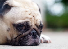 Cute pug dog. Profile side view portraits close up of a lovely lonely white pug dog laying on the floor making sadly face with home outdoor surrounding bokeh Royalty Free Stock Photography