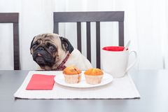 A cute pug dog in a red butterfly sits at a table