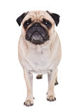 A cute Pug dog Royalty Free Stock Photos