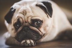 A cute Pug dog. With a sad, flat face Royalty Free Stock Photos