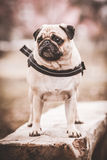 A cute Pug dog. With a sad, flat face Royalty Free Stock Photography