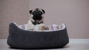 A cute pug dog sit in bed, tired and lazy