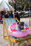 A cute pug dog is sitting on a canvas bed on the beach with pink rubber rings. And beautiful natural backgrounds stock images