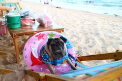 A cute pug dog is sitting on a canvas bed on the beach with pink rubber rings. And beautiful natural backgrounds royalty free stock photography